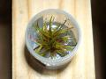 【レア種】組織培養カップ ホシクサsp.キングクリムゾン 1カップ