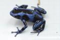 """Dendrobates auratus """"blue"""""""