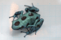 "Dendrobates auratus""microspot"""