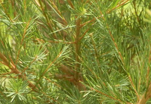 【オーストラリア産】2017年7月産ティーツリー精油 (ハンドハーベスト) 10ml
