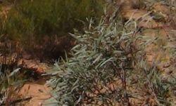 【オーストラリア産】2015年4月産 野生ユーカリ・ブルーマリー精油10ml
