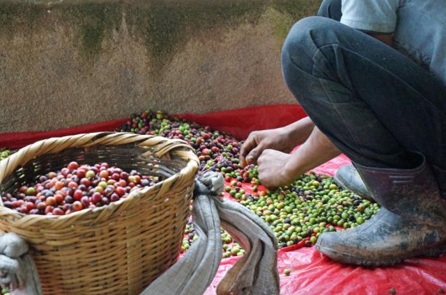 摘み取った後も手作業で完熟の実だけを選別していきます