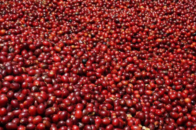 摘み取ったコーヒーの実。見事な熟度。