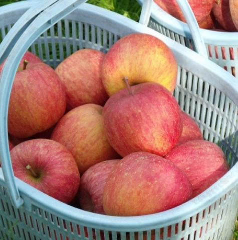 豊田の完熟ふじりんご5kgバラ詰め 良品