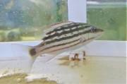 アミメフエダイ幼魚 【仕入れ個体】 8センチ程度 ※11/13入荷