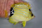 アオタテジマチョウチョウオ 【ハワイ産】 ※13センチ程度 ※8/25入荷 ※やや大きめの個体です ※冷棟餌、生エサOK