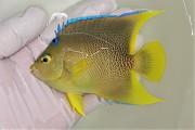 SOLDOUT ブルーエンゼル中成魚 10センチ前後 【カリブ海産仕入れ個体】 ※3/30入荷