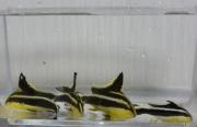 コロダイベビー 【山口県青海島産ハンドコート】 5〜8センチ程度 ※8/28入荷 S梱包