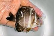 ゴマニザ 幼魚 【海外仕入れ個体】 ※10センチ程度 ※7/18入荷
