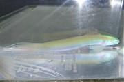 ハナハゼ(日本海) 【青海島産ハンドコート】 ※15センチ程度 ※8/2採取