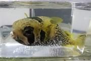 ヒトヅラハリセンボン幼魚【仕入れ個体】16センチ程度 ※1/24入荷