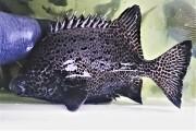 イシガキダイ成魚(クチジロ) 33センチ程度 【屋久島産ハンドコート】 ※3/18採取