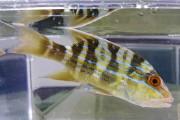 イトヒキフエダイ 中成魚 【仕入れ個体】 ※14センチ程度 ※12/23入荷