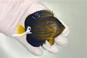 キンチャクダイ幼魚C【青海島ハンドコート】 8センチ程度 ※8/2採取 ※粒餌OK(メガバイトレッドM粒)