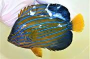 ※SALE キンチャクダイ成魚C【天草産ハンドコート】 18センチ程度 ※10/2出品、※消極的ながら砕いたクリルを食べています 冷凍イサザアミOK