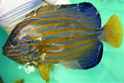 SOLDOUT ※SALE キンチャクダイ成魚A【天草産ハンドコート】 20センチ程度 ※10/2出品、消極的ながら砕いたクリルを食べています 生アサリは爆食いです