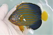 SOLDOUT キンチャクダイ中成魚D【青海島ハンドコート】 10センチ程度 ※11/2採取 餌付け前の価格です