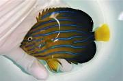 SOLDOUT キンチャクダイ中成魚E【青海島ハンドコート】 10センチ程度 ※11/2採取 餌付け前の価格です