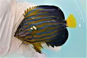 SOLDOUT キンチャクダイ中成魚F【青海島ハンドコート】 10センチ程度 ※11/2採取 餌付け前の価格です