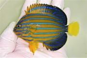 キンチャクダイ中成魚G【青海島ハンドコート】 10センチ程度 ※11/13採取 餌付け前の価格です