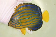 キンチャクダイ中成魚K【青海島ハンドコート】 13センチ程度 ※11/13採取 餌付け前の価格です