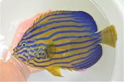 SOLDOUT ※珍産地 キンチャクダイ成魚【響灘産仕入れ個体】 18センチ程度 ※2月採取、6/28入荷 ※トリートメント中