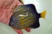 ※SALE キンチャクダイ中成魚【日本海産ハンドコート】 13センチ程度 ※9/16採取