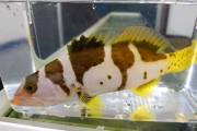 コクハンアラ幼魚 【仕入れ個体】 ※18センチ程度 ※1/18入荷