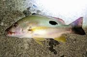 クロホシフエダイ成魚 【釣り採取:屋久島】 ※25センチ程度 ※12/3入荷 ※クリル他、浮いた餌も食べています