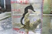SOLDOUT クロウミウマ幼魚 【薩南諸島ハンドコート】 8センチ程度 8/26採取