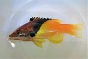ケサガケベラ中成魚 【仕入れ個体】 ※10センチ程度 ※4/25入荷 ※各種人工飼料OK