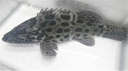 ※激レア 近海カスリハタ若魚 【甑島産仕入れ個体】 ※50センチ程度 2kg ※1/16入荷 空港渡し、又は配達限定です