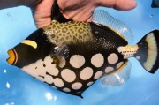 モンガラカワハギ【薩南諸島ハンドコート】 成魚 20センチ程度 8/12入荷