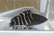 SOLDOUT マハタ幼魚 【近海ハンドコート仕入れ個体】 ※9センチ程度 ※4/26入荷