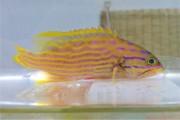 ミナミハタ幼魚 【仕入れ個体】 ※10センチ程度 ※4/30入荷 ※各種人工飼料OK
