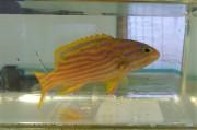 ミナミハタ幼魚 【仕入れ個体】 ※12センチ程度 ※4/25入荷 ※各種人工飼料OK