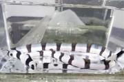 ハーレクインスネークイールSP 【セブ産仕入れ個体】 ※40センチ程度 ※4/17入荷