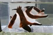 再入荷 センネンダイ 幼魚 【仕入れ個体】 ※10センチ程度 ※5/4入荷