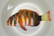 シチセンベラ中成魚 【仕入れ個体】 ※10センチ程度 ※4/25入荷 ※各種人工飼料OK