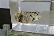 SOLDOUT ストライプドバールフイッシュ幼魚【カリブ海産】※10センチ程度 ※2/7入荷
