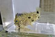 ストライプドバールフイッシュ幼魚【カリブ海産】※7センチ程度 ※2/7入荷
