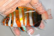 シチセンベラ中成魚 【仕入れ個体】 ※10センチ程度 ※9/29入荷
