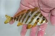 タカノハダイ幼魚【青海島ハンドコート】※15センチ程度 ※6/30入荷