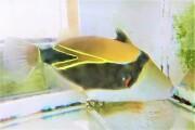 ※SALE タスキモンガラ特大 【薩南諸島ハンドコート】20センチ程度 12/1採取  ガラス水槽での飼育を推奨