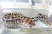 ヒレオビウツボSP幼魚(和名無し)【薩南諸島ハンドコート】※30~40センチ程度※1/10採取