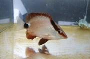 ヨコフエダイ幼魚 【仕入れ個体】 ※10センチ程度 ※7/11入荷 ※何でも食べます