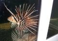 キミオコゼ 約7センチ【鹿児島産】ベタ慣れで手からクリルを食べます。