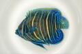 商談中 アデヤッコ幼魚 【仕入れ個体】 ※9センチ程度 ※5/29入荷 ※肥っています ※メガバイトS粒、他何でも食べています。