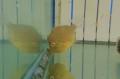 アオサハギ 幼魚 【近海産仕入れ個体】 ※5センチ程度 ※6/27入荷 S梱包