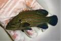 アオスジハタ幼魚【仕入れ個体】 ※13センチ程度 ※4/14入荷 ※クリルOK